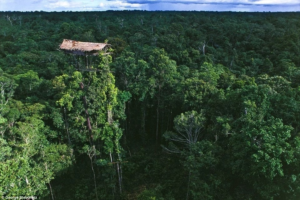 Some of their tree houses go all the way up the forest canopies. Photo: George Steinmelz