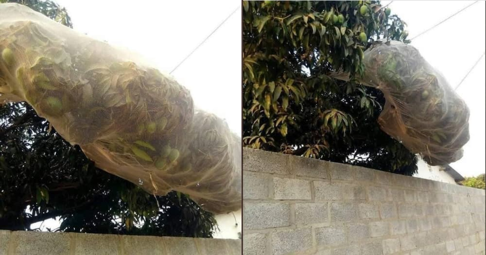 Selfish neighbour who covered avocado tree with net to avoid sharing fruits exposed
