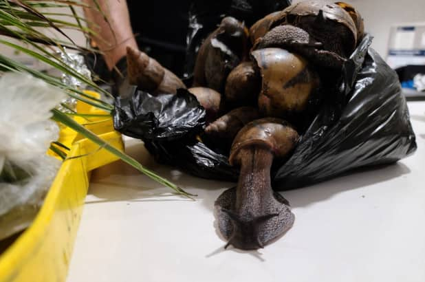 Ghanaian traveler trends in US JKF Airport for packing 22 giant snails and prekese in his luggage