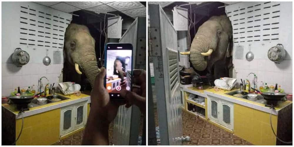 Elephant storms woman's home at night, searches kitchen for food