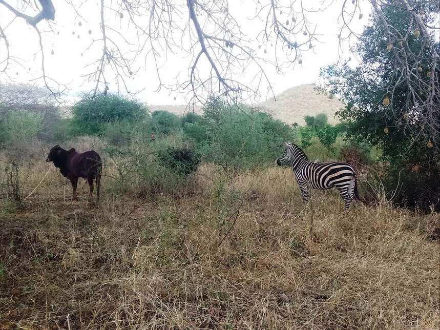 Zonkey: Zebra births rare animal after breeding with donkey at Chyulu Hill National Park