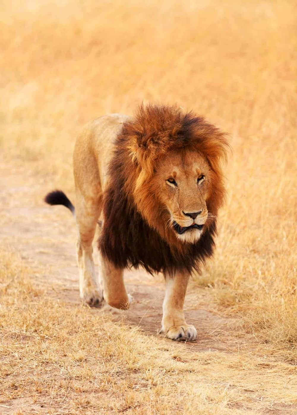 2 pet cats, 5 tigers and 3 African lions test positive for coronavirus