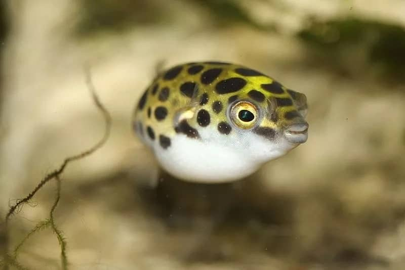 5 facts about the poisonous puffer fish that killed four people at Alavanyo