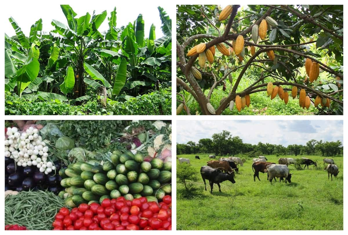 Importance of agriculture in Ghana Importance of farming Advantages of agriculture Benefits of agriculture