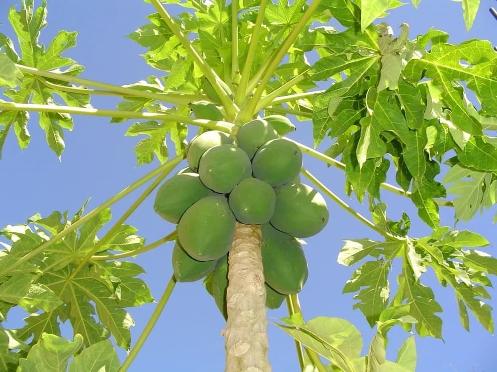 benefits of pawpaw leaves papaya dry leaf health benefits pawpaw leaves benefits pawpaw leaves health benefits uses of pawpaw leaves papaya leaves for cancer