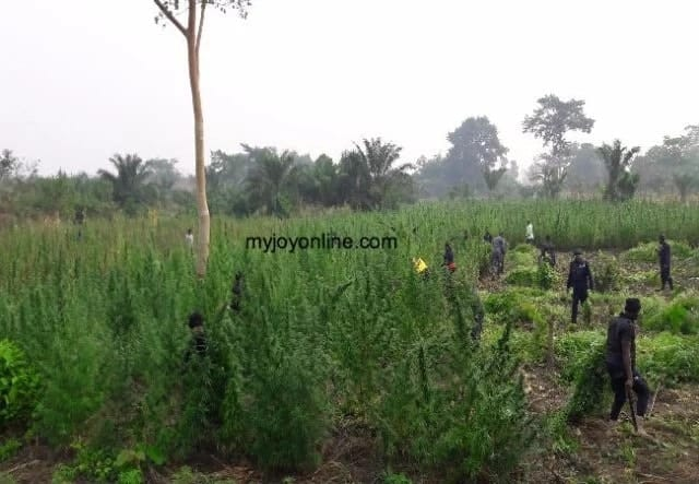 Chief arrested for cultivating two acre 'wee' farm