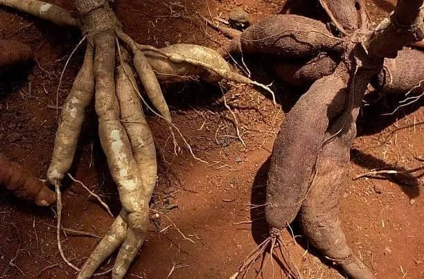 Cassava production in Ghana