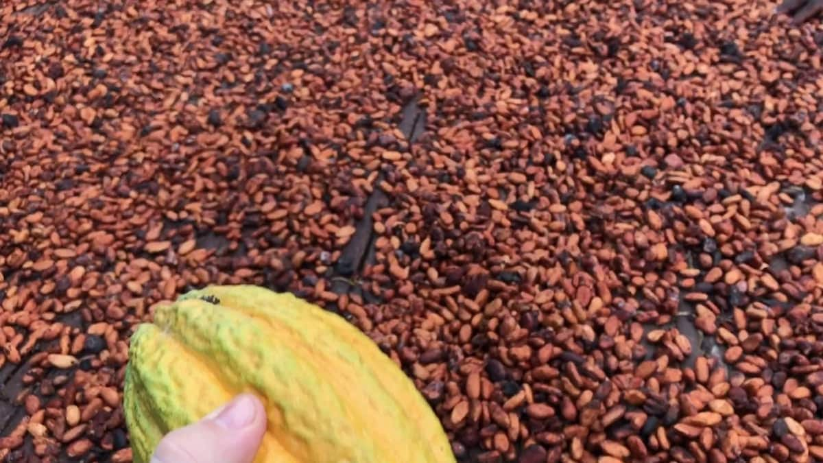 List of COCOA Processing Companies in Ghana ▷ YEN COM GH