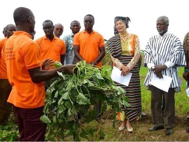 New sweet potato to be named after Kofi Annan