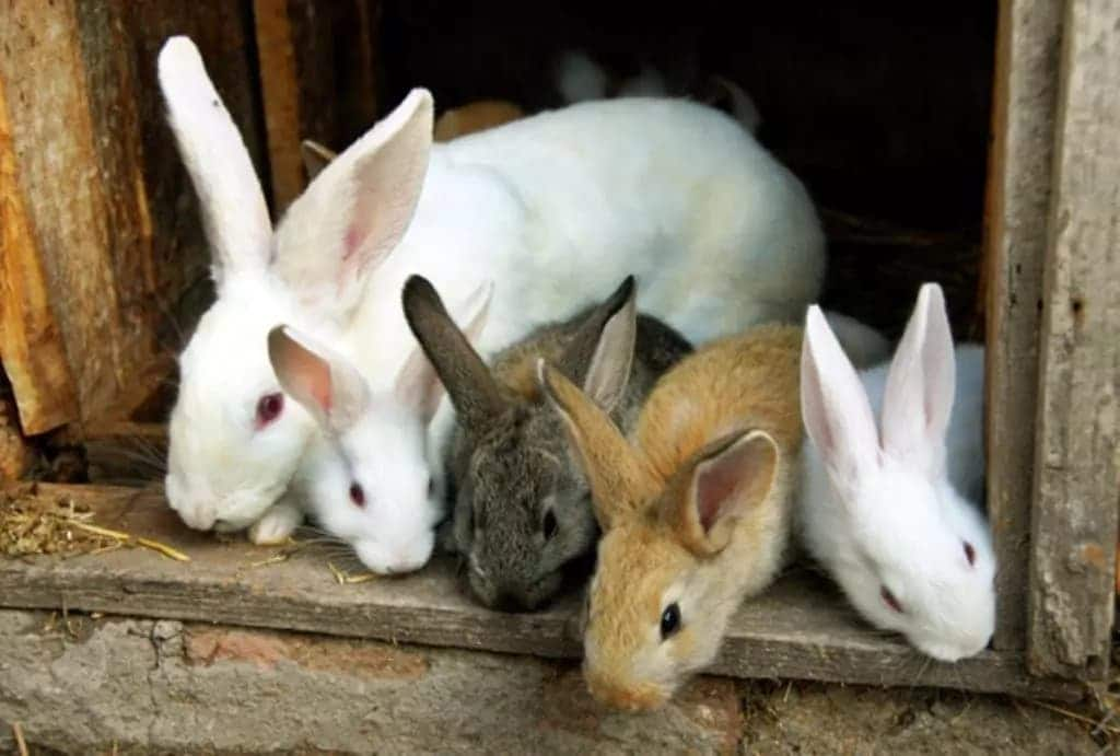 Rabbit Farming in Ghana - Business Plan and Techniques