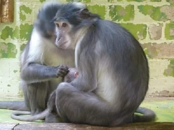 The world turns attention on Ghana over a discovery of special monkey at Atiwa forest