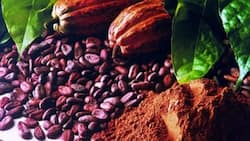 Ghana Cocoa Board fires staff over fake certificates