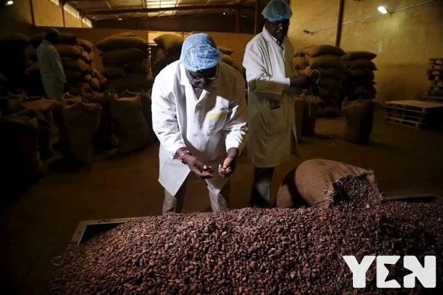 cocoa processing company address cocoa processing company tema golden tree chocolate cocoa processing company tema address
