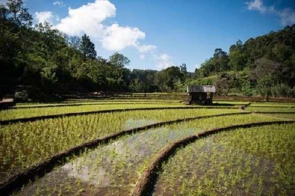 starting a rice farm