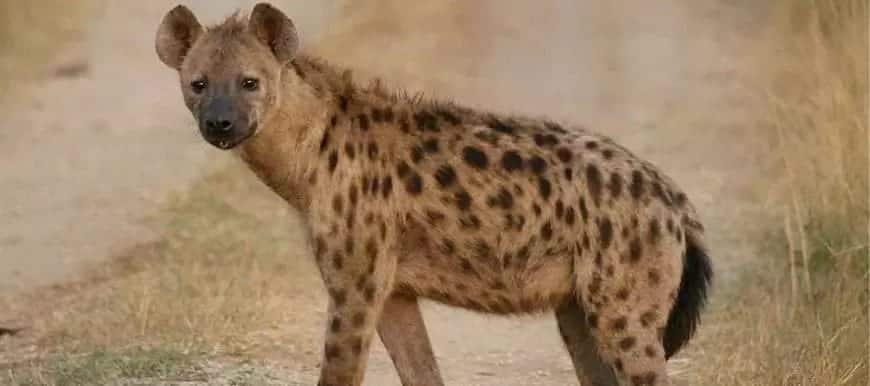 What Is a Female Hyena Called?
