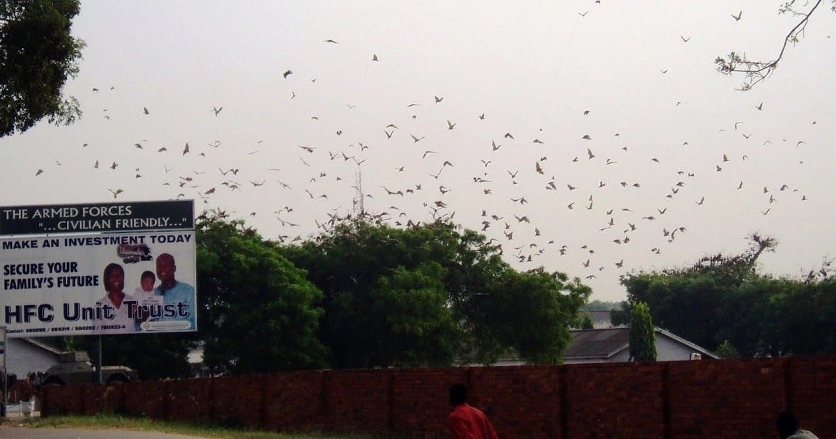 The mysterious bats at 37 Military Hospital and shocking story on where they came from