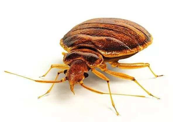 bed bug bites, bed bug bites treatment. bed bug bites effects