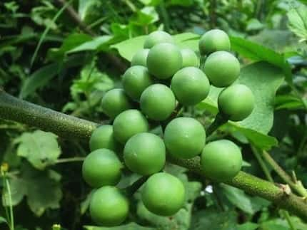 Health benefits of turkey berry