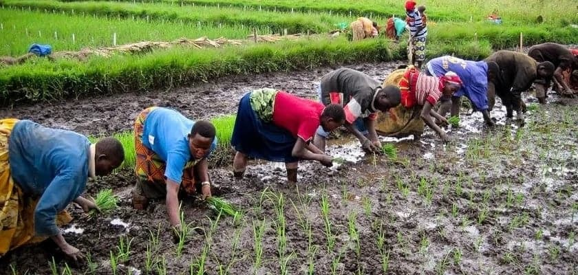 Rice production and consumption in Ghana