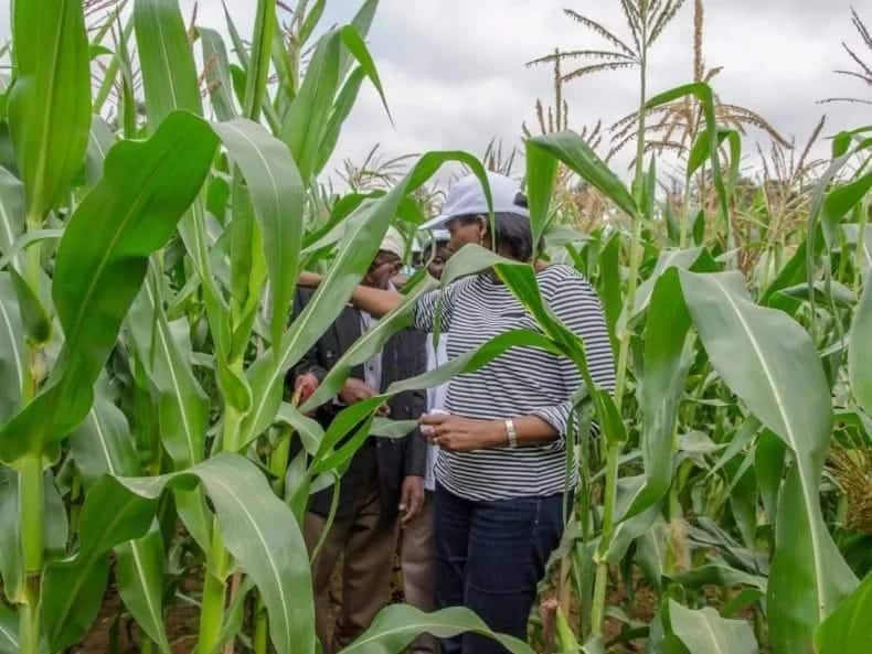Maize Production in Ghana for Beginners