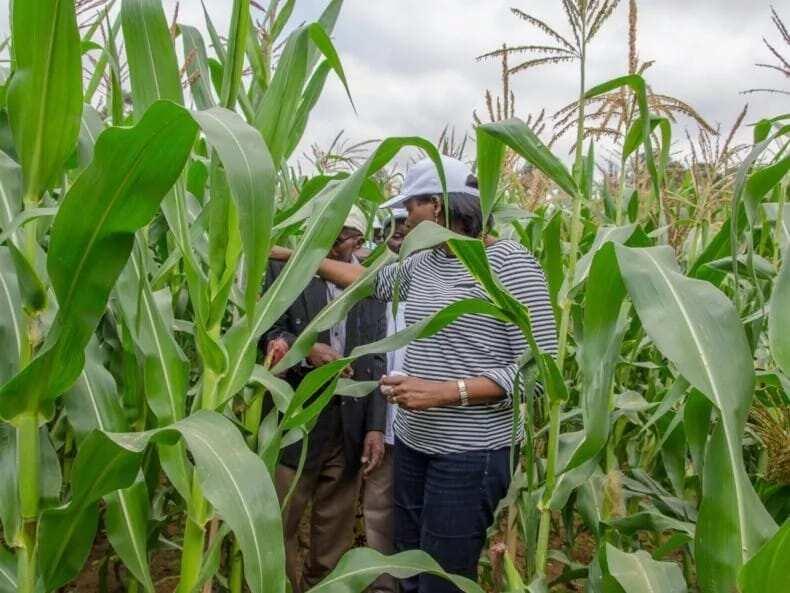 Maize Production in Ghana for Beginners ▷ YEN COM GH