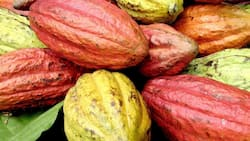 Cocobod owes GHc10bn