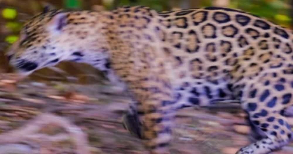 Two Brothers were lucky when one threw the birthday cake on the leopard's face.