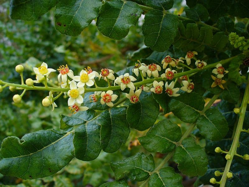 coriander in ghana
