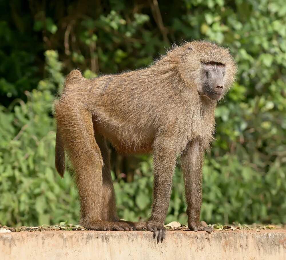 Matatu driver jumps from balcony to escape baboon attack