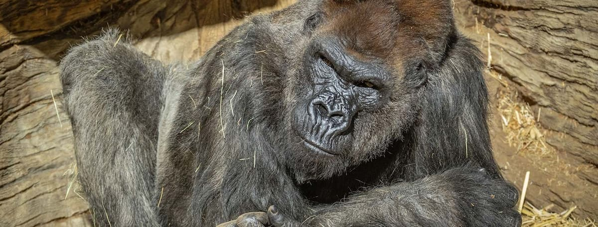 Gorillas test positive for COVID-19 in US zoo