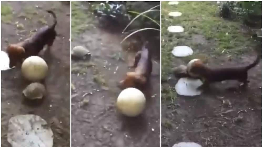 A collage showing the tortoise and the dog. Photo source: @cctv_idiots
