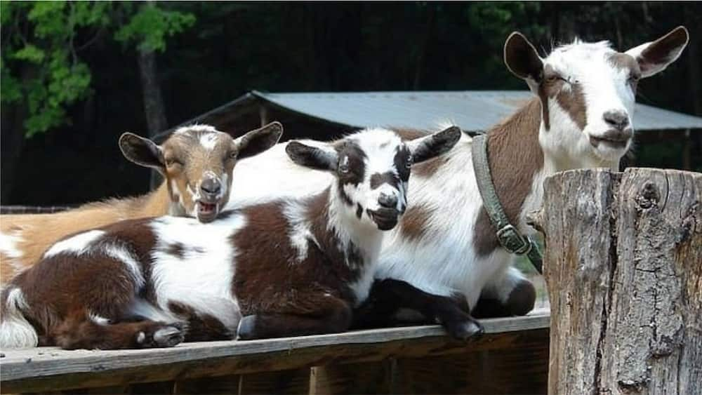 A picture showing some Nigerian dwarf goats. Photo source: Daily Mail