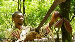 Ghana and Cote d'Ivoire finally set fixed income for cocoa farmers