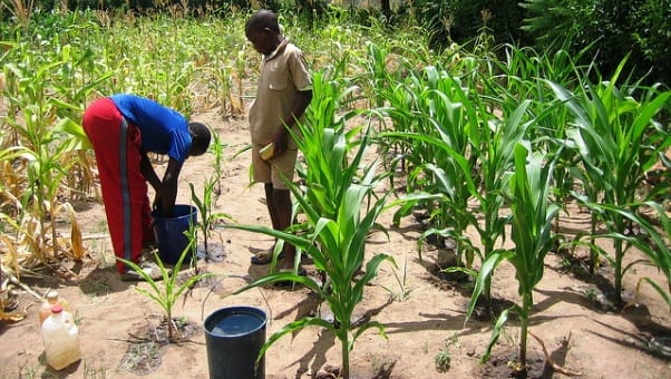 Social media users tear Zambia's Veep apart for calling for a ban on maize consumption