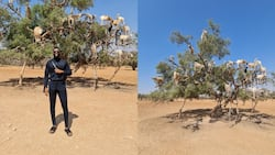 Video of man posing with goats on a tree raises many eyebrows on social media