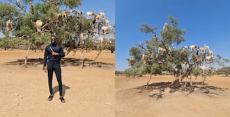 Man takes picture with goats on a tree