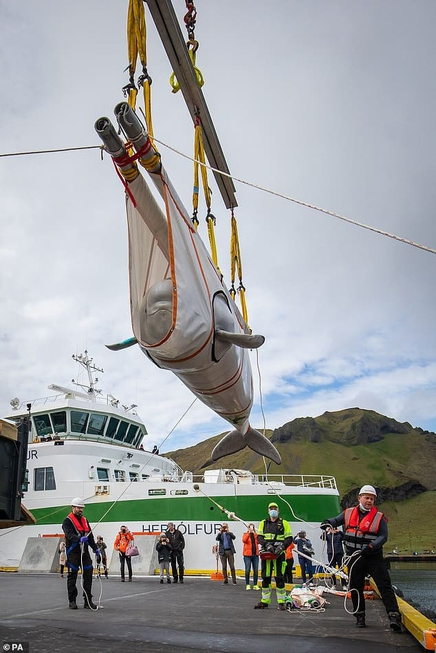 Meet the whales with plenty to smile about! Two belugas are transported from captivity in China to a new ocean