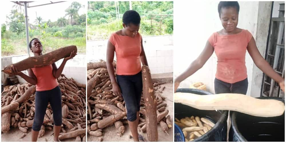 Woman Shows off the Gigantic Cassava she Harvested That is Half her Height, Photos Spark Massive Reactions