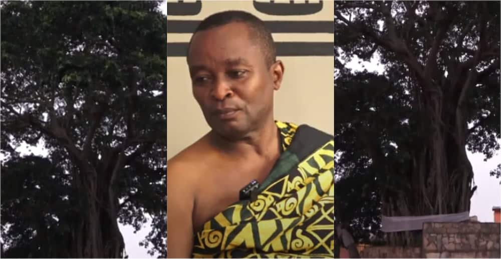 Mpeni Kofi: The 300 year old tree that allegedly turns human at night to guard the people of Akuapem