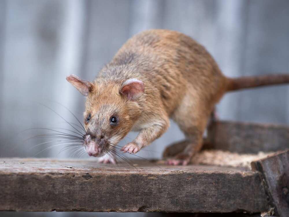 Rat awarded miniature gold medal for lifesaving bravery