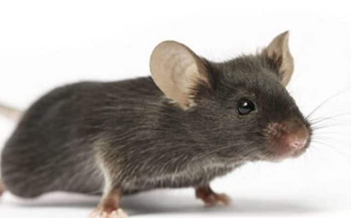Kumasi Dumsor: Big mouse responsible for recent power outages - PRO