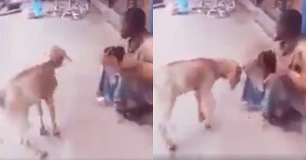 Video of a goat Making life Unbearable for a Street Beggar Causes Massive Stir Online