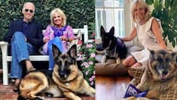Champ and Major: Meet Biden's lovely dogs moving into the White House